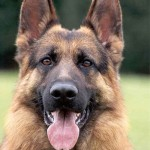 german_shepherd_dog_1